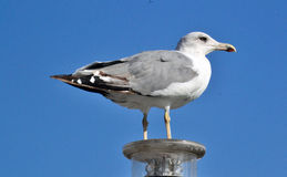 Seagull. Caspian Gull perched on a buoy port of Barcelona Stock Image