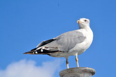 Seagull. Caspian Gull perched on a buoy port of Barcelona Royalty Free Stock Photo