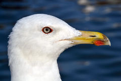 Seagull. Caspian Gull perched on a buoy port of Barcelona Royalty Free Stock Image