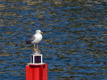 Seagull. Caspian Gull perched on a harbor beacon Stock Images