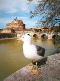 Seagull with Castel Sant Angelo in Rome in Italy. Tiber river stock image