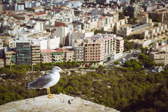 Seagull  in the castle Santa Barbara, Alicante. ALICANTE, SPAIN - SEPTEMBER 9, 2014: Seagull sitting on the ramparts, on the background of the city of Alicante Royalty Free Stock Photo