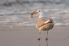Seagull with a catch. Royalty Free Stock Photography