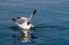 Seagull catch food on sea surface Stock Images