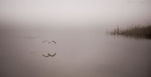 Seagull catches a crayfish in fog. Stock Images