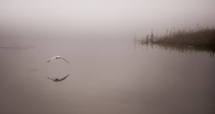 Seagull catches a crayfish in fog. Royalty Free Stock Image