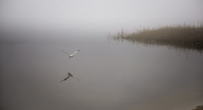 Seagull catches a crayfish in fog. Royalty Free Stock Photo