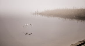 Seagull catches a crayfish in fog. Stock Photos