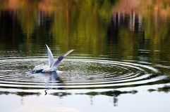 Seagull catches a fish in water. Stock Photo