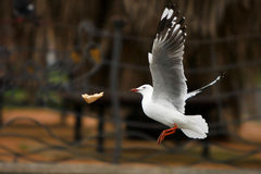 Seagull catching bread in midair. Seagull in flight, catching bread in midair, in light rain Royalty Free Stock Images