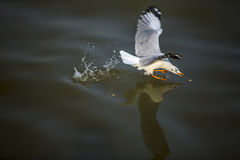 Seagull catching food on the sea. One of seagulls is landing and concentrates to catching the food which floating on the sea water, with very closed-up technique Royalty Free Stock Image