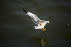 Seagull catching food on the sea. One of seagulls is landing and concentrates to catching the food which floating on the sea water, with very closed-up technique Stock Photography