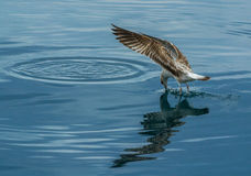 Seagull caught a fish 2 Royalty Free Stock Image