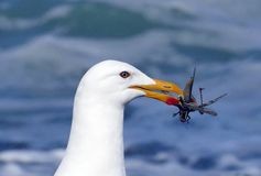 Seagull caught a grasshopper. Seagull sea grasshopper eye white yellow insect wing Stock Images
