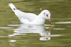 A seagull on the Cemetery Lake on Southampton Common. A seagull swimming on the Cemetery Lake on Southampton Common royalty free stock image