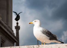 Seagull in the center of Rome. Italy Royalty Free Stock Photos