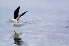 Seagull chasing off competition Stock Images