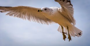 A seagull in Chesapeake Beach, Maryland. Stock Photo