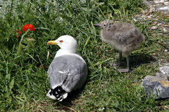 The Seagull and chick Stock Photo
