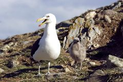 Seagull with chick. In South America Stock Photography