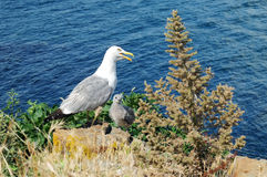 Seagull with the chick on the background sea. Royalty Free Stock Photo