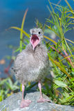 Seagull Chick Stock Images