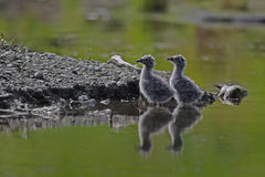 Seagull chicks Royalty Free Stock Photo