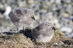 Seagull chicks Stock Photography