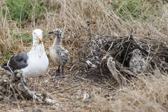 Seagull Chicks with Nest Building Mother Stock Images