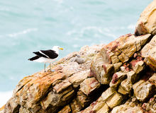 Seagull and chicks on rocks Royalty Free Stock Image