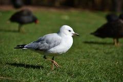 Seagull chillin na gazonie fotografia royalty free