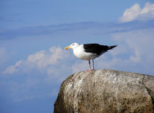 Seagull chilling in the sun. A seagull chilling on a stone in the sun at Kap Arcona on Rugia Stock Photography