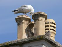 Seagull on a chimney with her young stock images