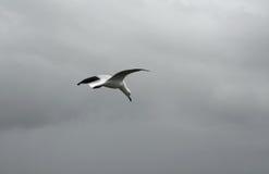 seagull chmurny latający niebo Obraz Stock