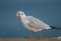 Seagull choking. Seagull on coast with open mouths is choking showing tiny tong Royalty Free Stock Photography