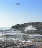 Seagull Choppy Seas. In Ses Covetes, Mallorca, Balearic islands, Spain in October Royalty Free Stock Images