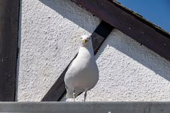 Seagull perched on the roof of a house. Seagull  Chordata perched on the roof of a house stock images