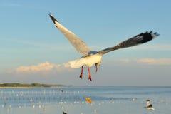 Seagull chybienie jedzenie zdjęcie royalty free