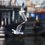 Seagull circling around. Ships for food Stock Photos
