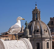 Seagull in the city Royalty Free Stock Image