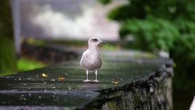 Seagull in a city. Seagull on a city border close-up stock video