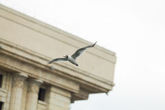 Seagull in city Royalty Free Stock Photography
