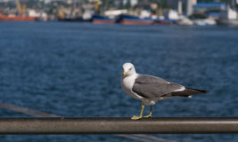 Seagull at the city port. Stock Photo