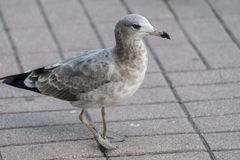 Seagull at the city port. Royalty Free Stock Photo