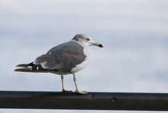 Seagull at the city port. Royalty Free Stock Photos