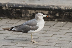 Seagull at the city port. Royalty Free Stock Image