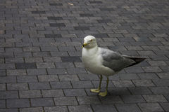 Seagull on city road Royalty Free Stock Images