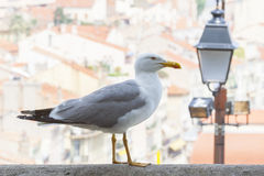Seagull in city Royalty Free Stock Photos