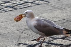 Seagull in the city walking around with pizza in its mouth royalty free stock image