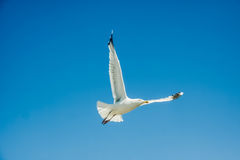 A seagull and clear sky Stock Photo